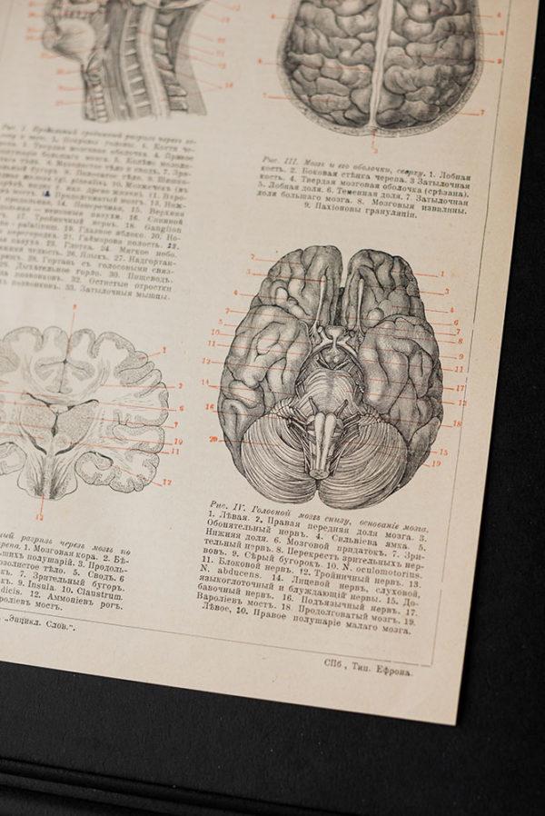 Гравюра Головной мозг человека