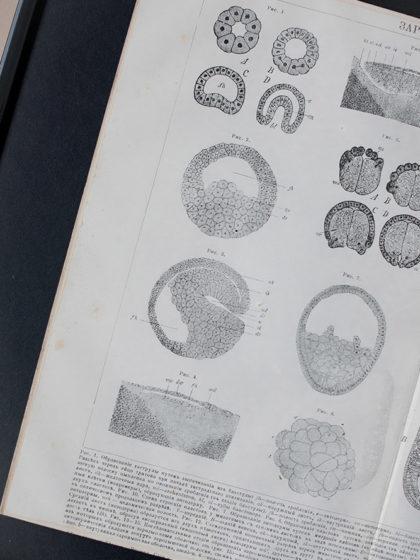 Гравюра Зародышевые листы и оболочки