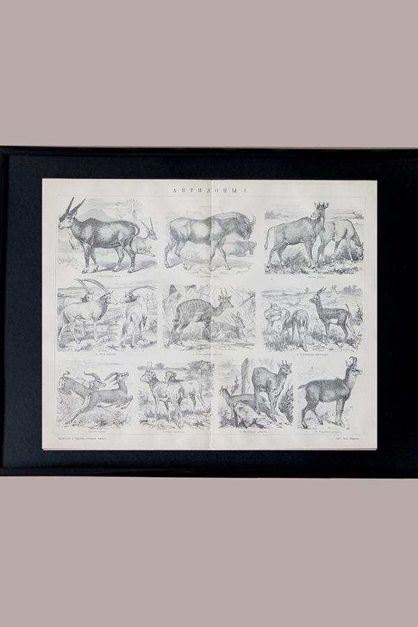 Гравюра Антилопы I