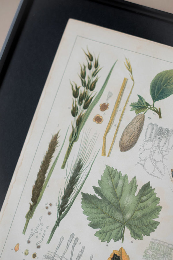 Гравюра Болезни растений