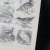 Гравюра Голенастые птицы II