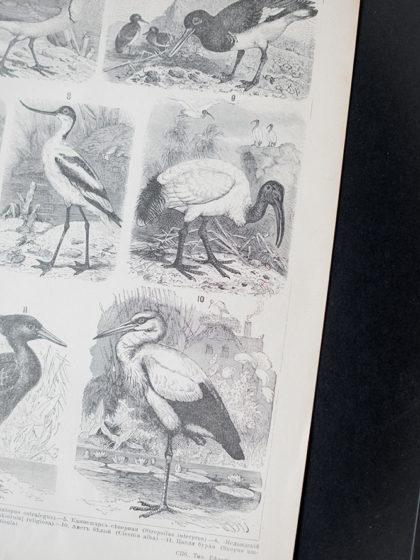 Гравюра Голенастые птицы I